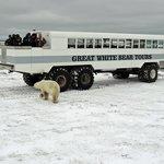 Polar bear exploring our buggy