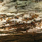 A swarm of ladybugs, only a portion of the entire swarm!