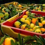 Orange harvest....