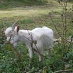 une des chèvres