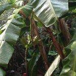 Bananas in courtyard