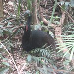 Juvenile cassowary near the road in.