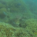 snorkelling for turtles
