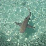 A Lemon Shark, about 6ft long chasing baitfish near the jetty