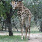 Nieuwsgierige giraffen tussen de boomhutten