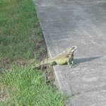 Local wildlife up close and personal - iguana!