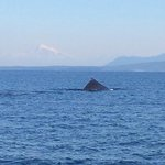 """Photo of Humpback Whale (BCY0409 """"Yogi"""") with Mt. Baker in the background."""