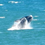 Whales in Hermanus