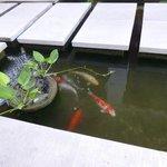 Koi pond in our villa