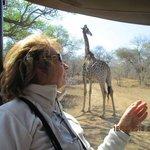 las preciosas jirafas