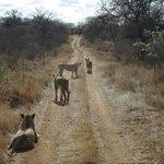 las leonas buscan el desayuno