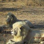 leones al sol