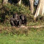 Femelles gorille