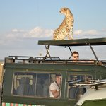 Ghepardo - Masai Mara