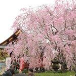清水観音堂と桜