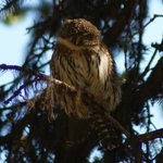Northern Pygmy-Owl along the way