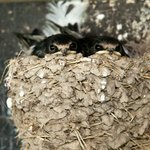 Young Swallows to help with Mosquitoes