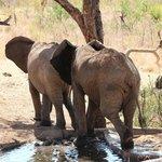 Elephants at Treetops water hole!!!