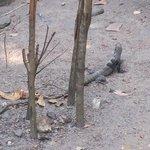 Iguana, East End.