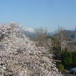 桜と富士山2