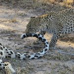 cub attacks tail for attention