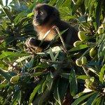 Horned capuchin monkey.