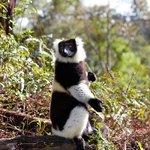 Black and white ruffed lemur sunbathing