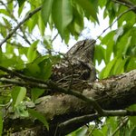 Papuan Frogmouth on its nest