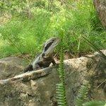 Bluetongue lizard