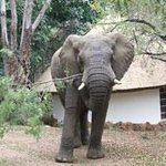 Frequent visitor to Makutsi Camp