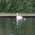 Swan on a pond at St. Stephen's Green