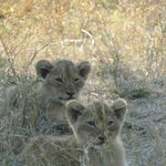 lion cubs on our game drive