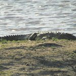 crocodile that lives in a pond in the reserve