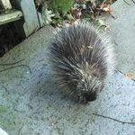 Resident Porcupine!