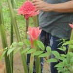 Этлингера высокая, Имбирь-факел, Пламенная лилия, Фарфоровая роза, Филлипинский восковой цветок