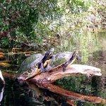 Slider turtles on the rainbow river