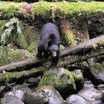 Black Bear - near Tofino