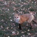 little fox came mornings...