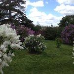 Beautiful lilacs!