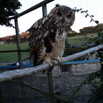 Mitsy our Bengalese owl