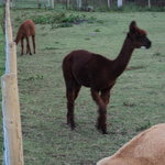 One of our herd of Alpacas