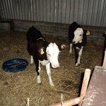 HerefordxFresian calves