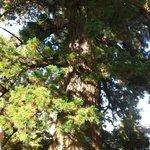 Un impressionnant séquoia