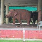 De rosa elefanterna