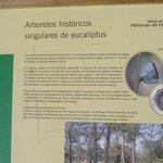 información eucaliptos