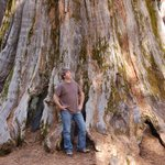 Giant Sequoia near Interpretive Center - Nelder Grove