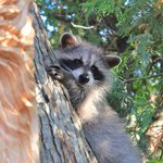 racoon baby (one out of two!)