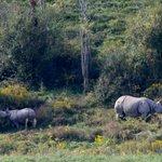 Female rhino & baby in bush