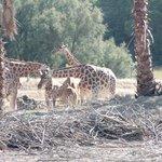 Les girafes (parc voiture)