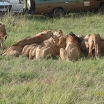 Lions Enjoying their kill near Manyatta Camp